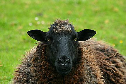 Combien de mouton noir à nos côtés ?
