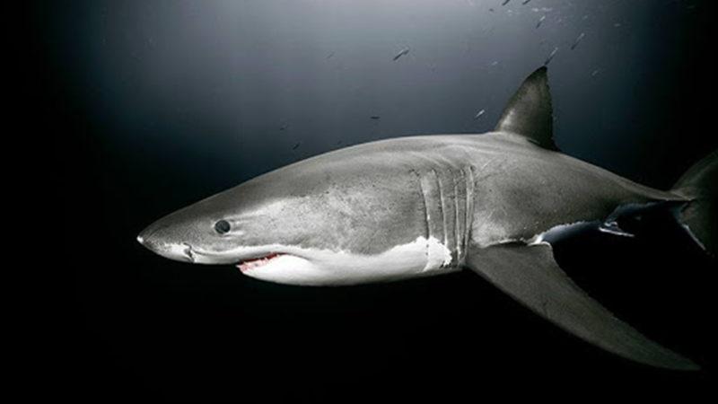 Regard sur la Création : Le requin